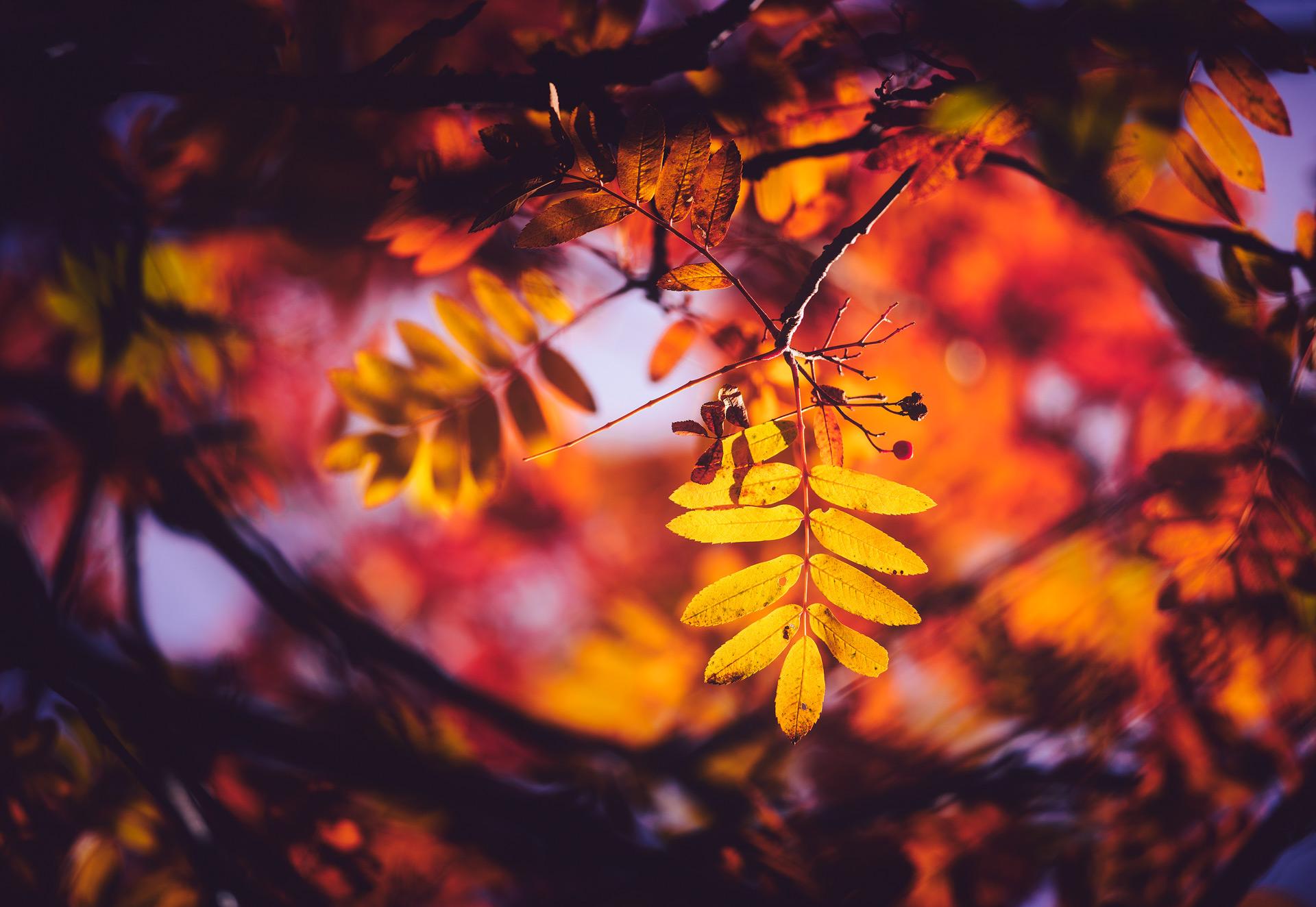 Autumn Rowans