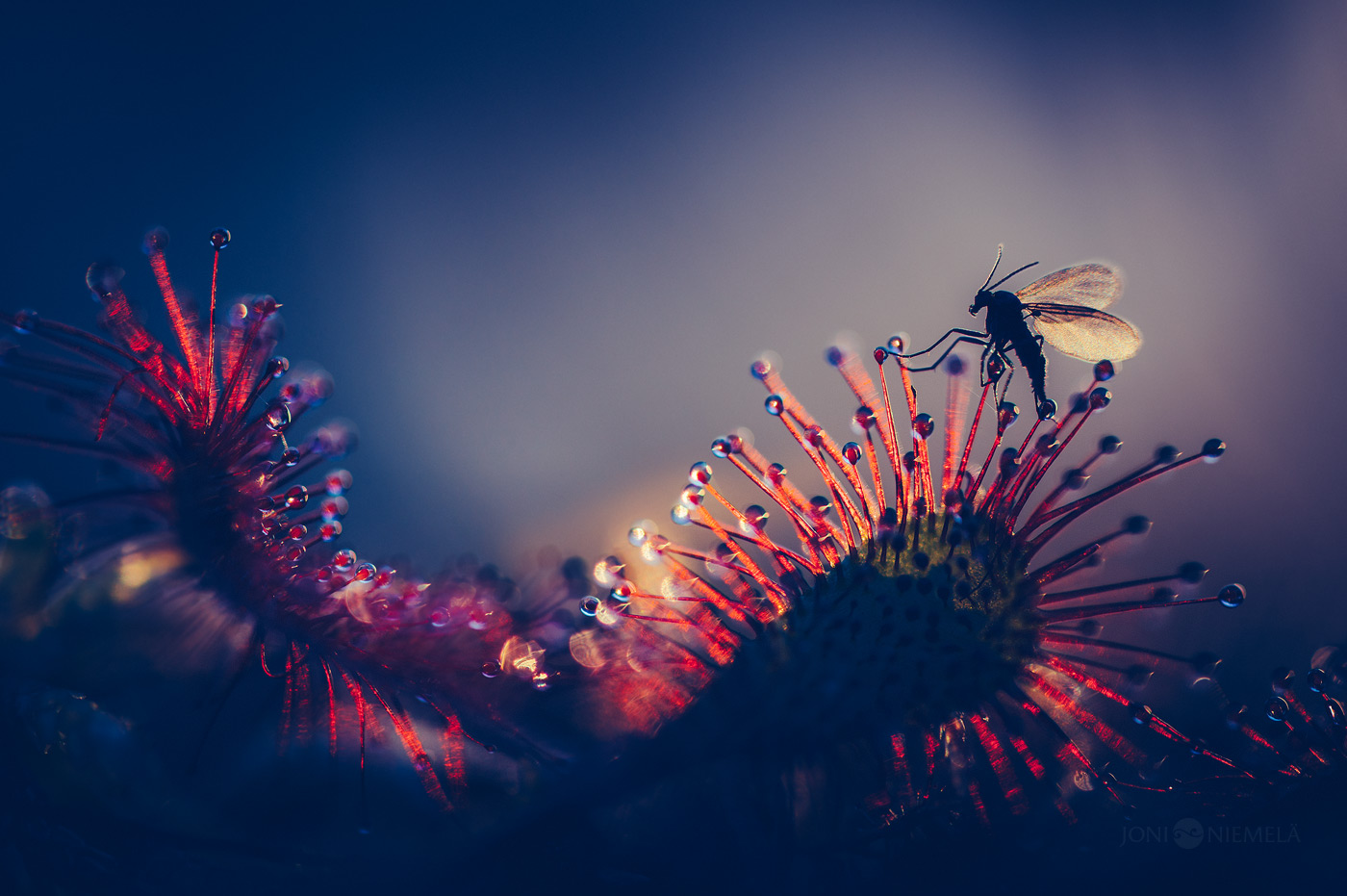 Trapped By Great Sundew