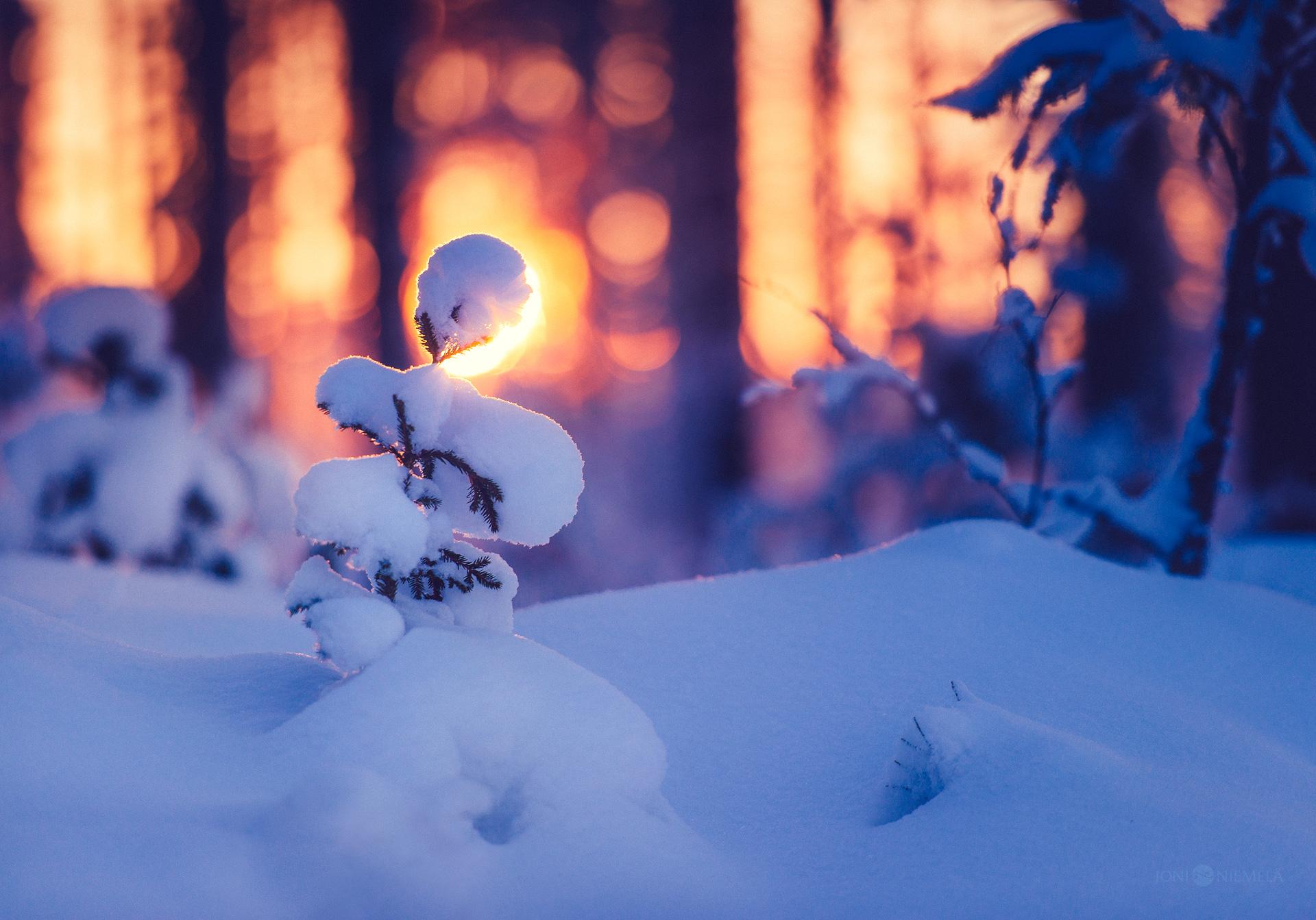 Sapling Under The Snow