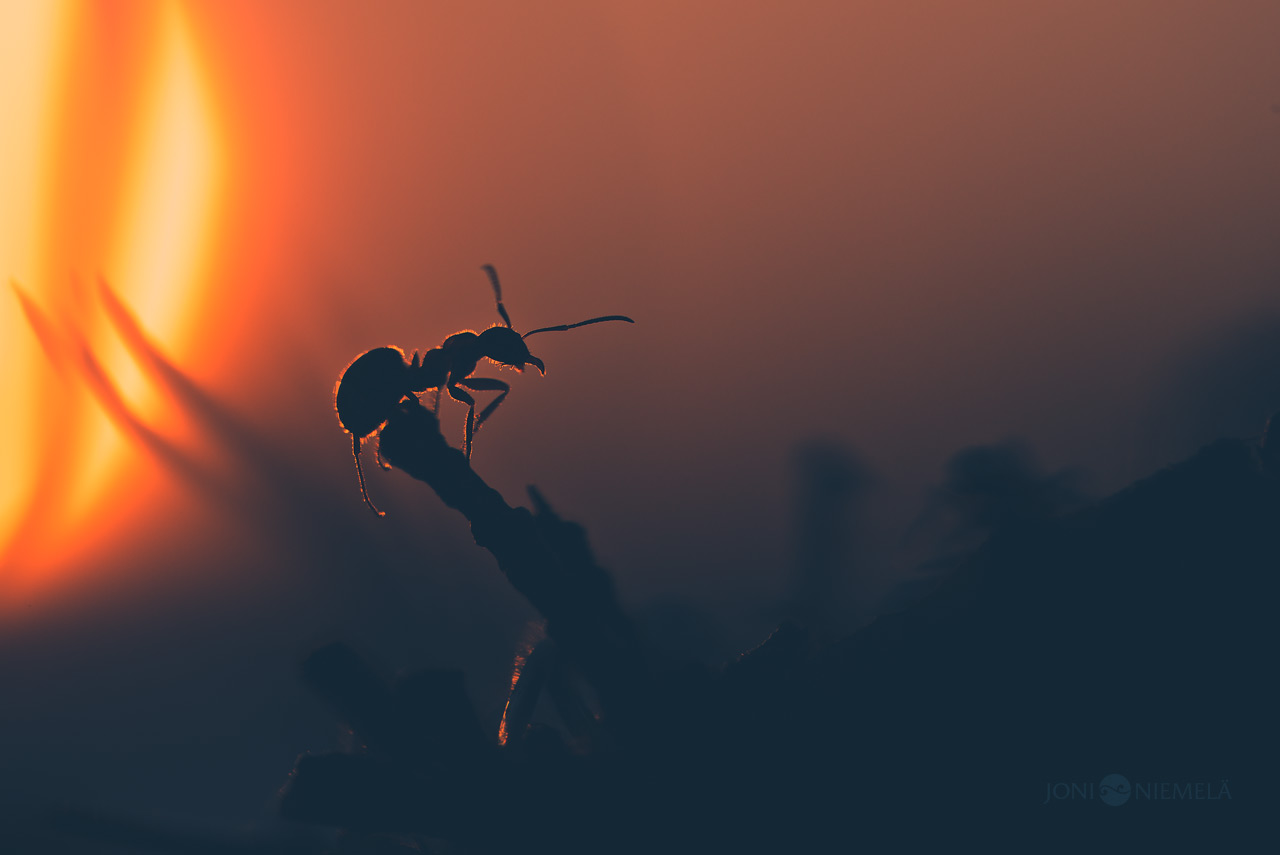 Ant At Sunset