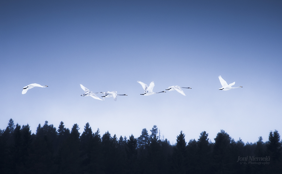 Flying Whooper Swan Family