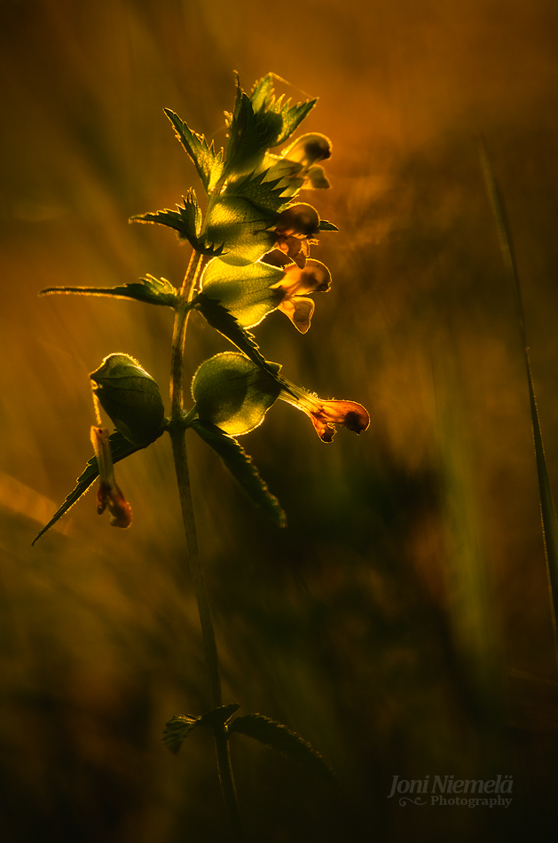 Yellow Rattle (Rhinanthus minor)