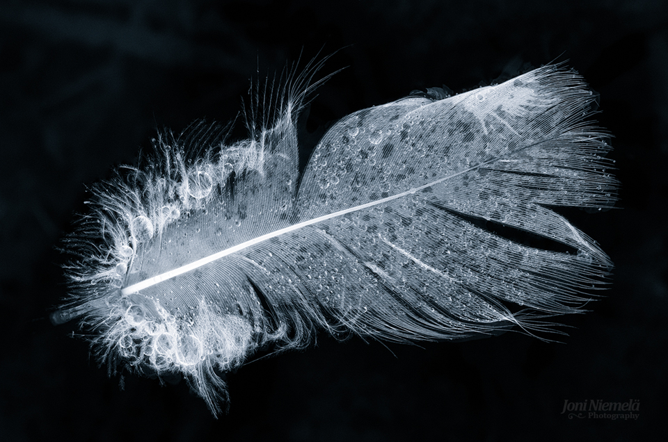 Swan Feather
