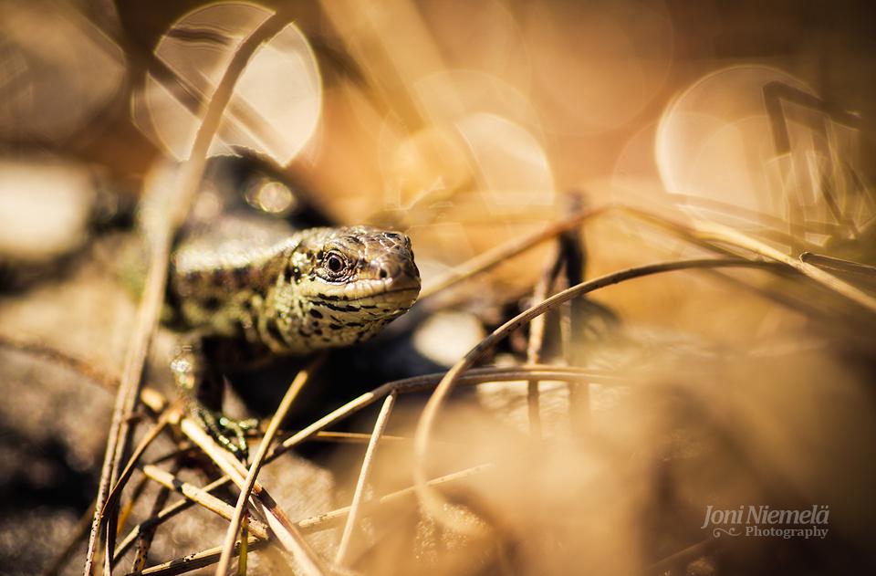 Lizard's Eye