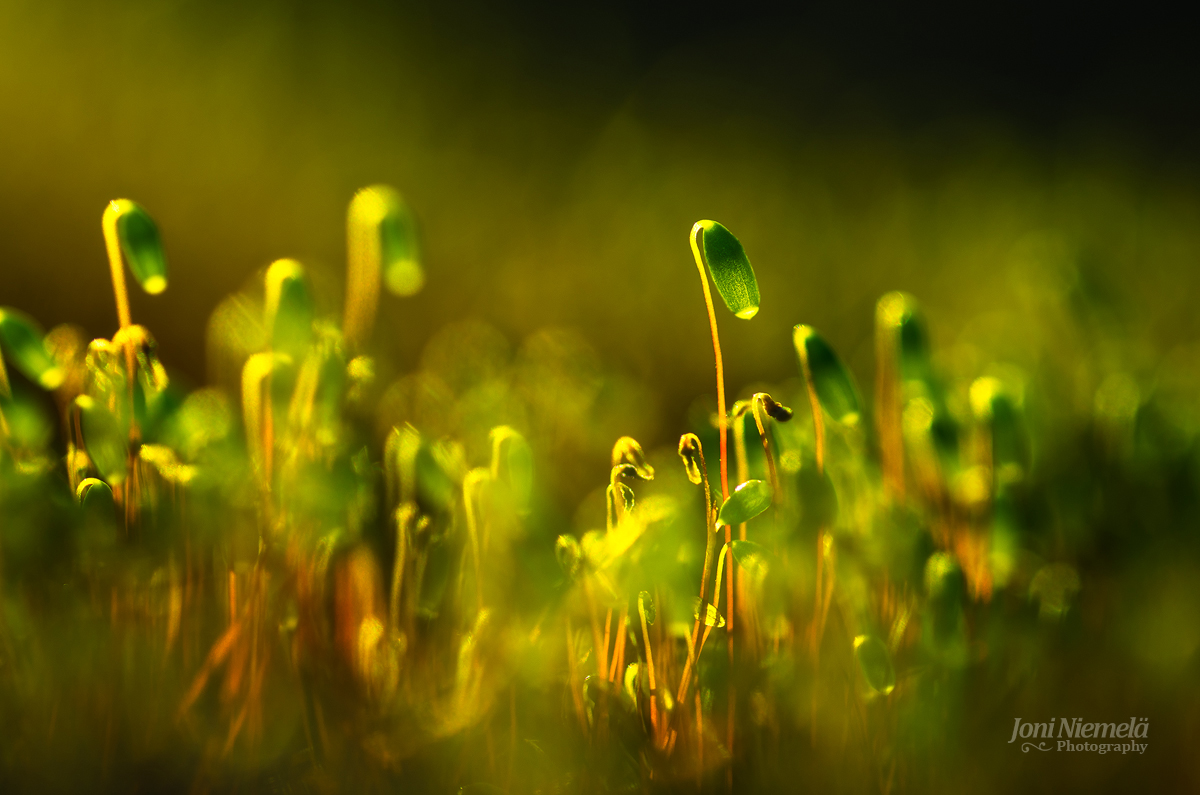 Pohlia Moss (Pohlia nutans)