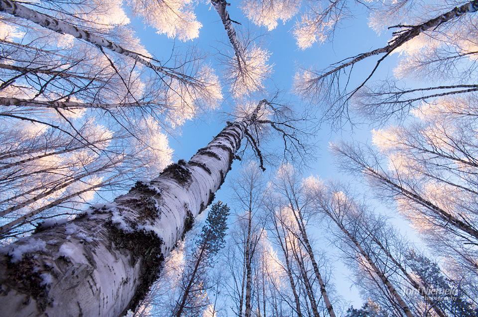 White Treetops
