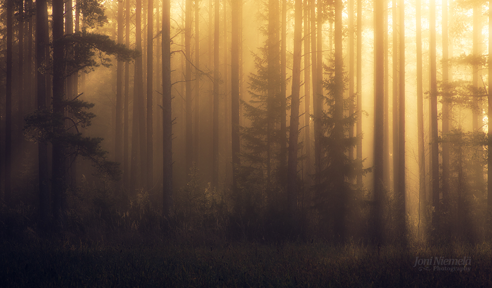 Foggy Pine Forest II