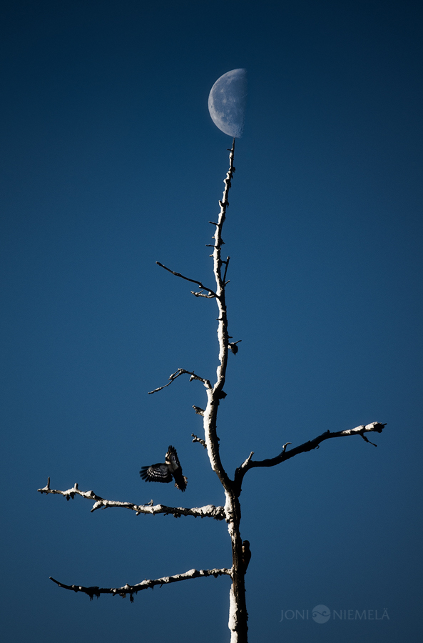 Moon And Woodpeckers