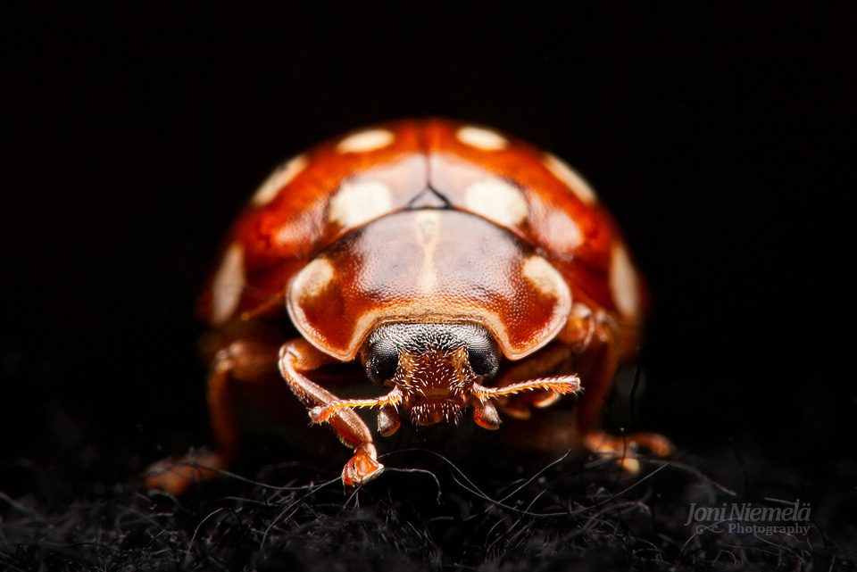 Lady Bug (Calvia quatuordecimguttata)