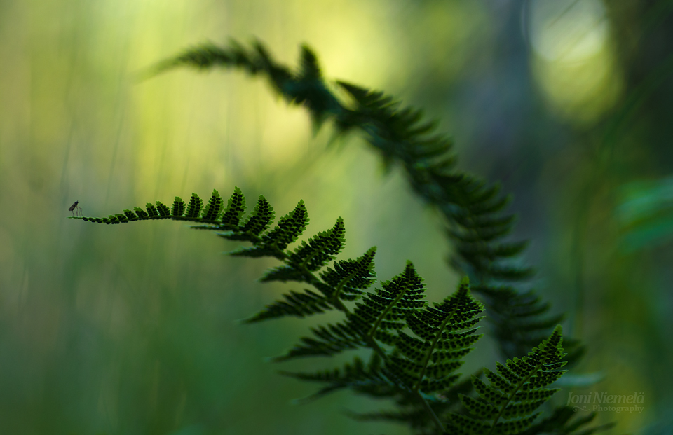 Ferns And The Mosquito