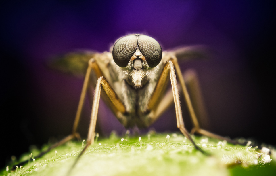 Snipefly (Rhagio scolopaceus)
