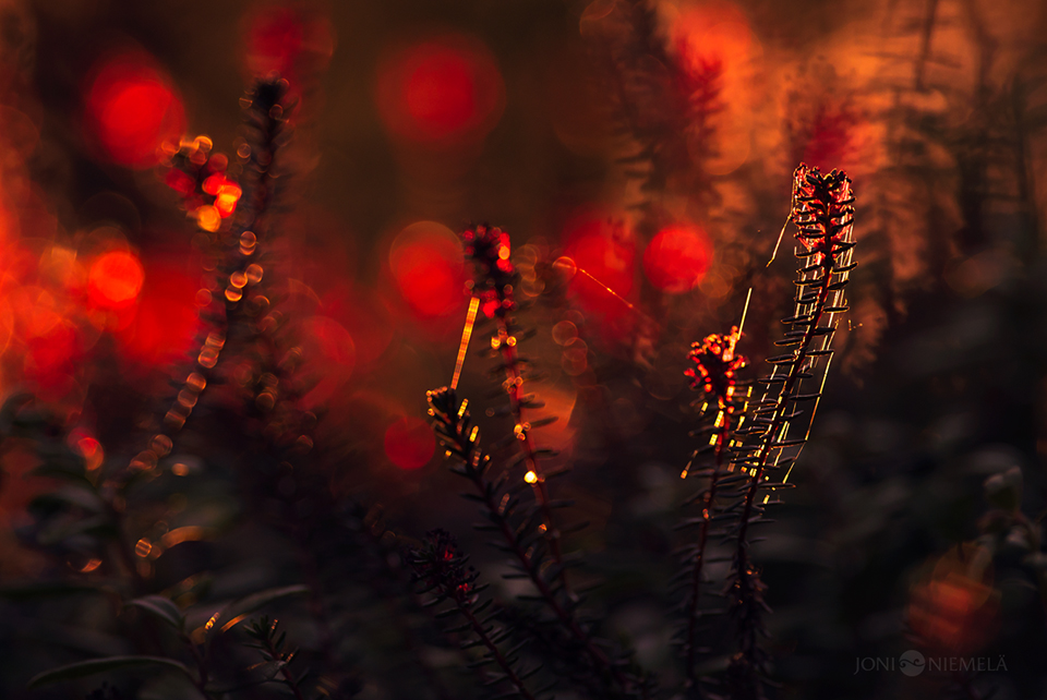Red Crowberry Sporophytes
