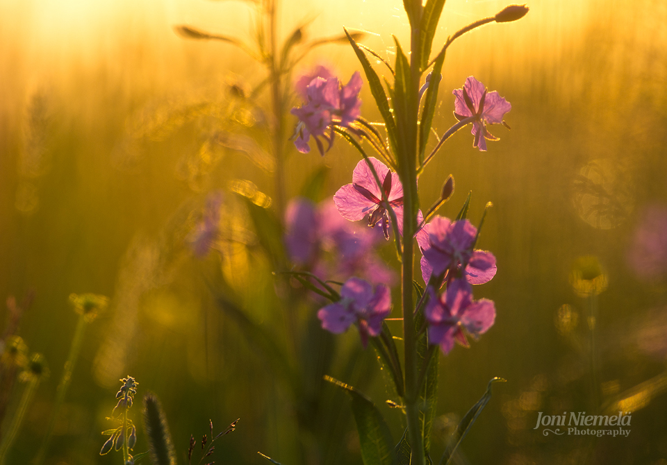 Flower Of A Fireweed