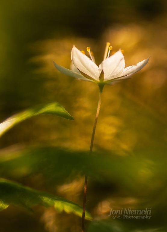 Arctic Starflower (Trientalis europaea)
